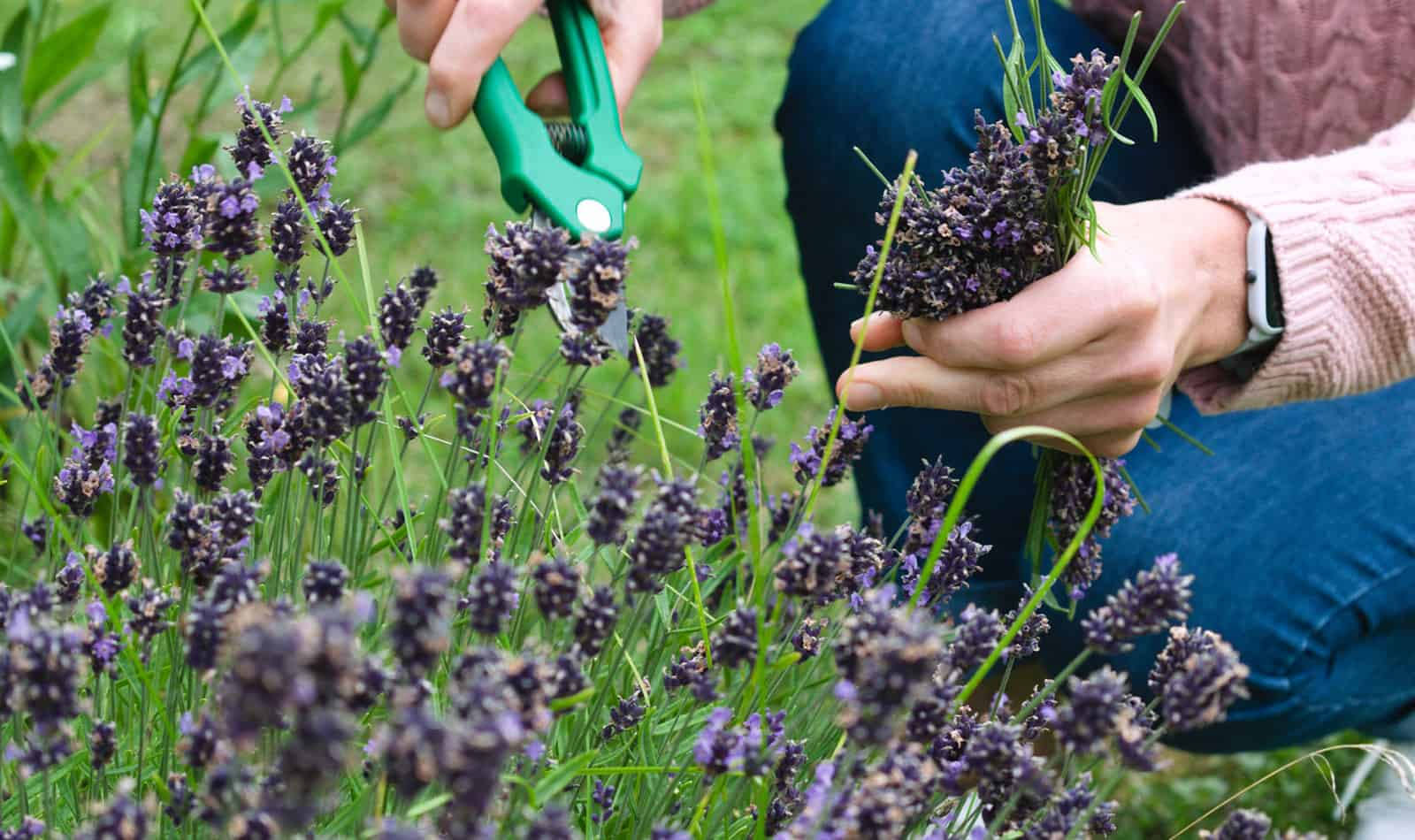 Lady cutting Lavender in her Garden